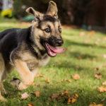 Немецкая овчарка щенок бежит