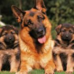 Немецкая овчарка со щенками
