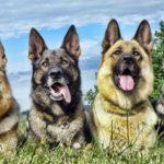 Немецкая овчарка несколько собак