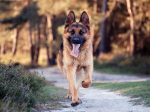 Немецкая овчарка бег