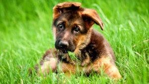 Немецкая овчарка щенок на траве
